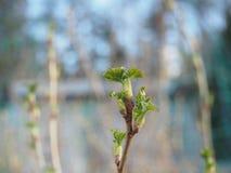 Ανθίζοντας φύλλα της κόκκινης σταφίδας άνοιξη κήπων κλείστε επάνω Στοκ φωτογραφία με δικαίωμα ελεύθερης χρήσης