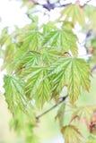 Ανθίζοντας φύλλα σφενδάμου Στοκ Εικόνες