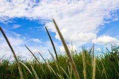 Ανθίζοντας χλόη και ουρανός Στοκ φωτογραφία με δικαίωμα ελεύθερης χρήσης