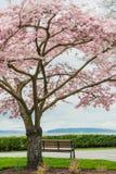 Ανθίζοντας ωκεανός πάγκων πάρκων δέντρων κερασιών Στοκ φωτογραφία με δικαίωμα ελεύθερης χρήσης