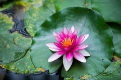 ανθίζοντας λωτός λουλ&omicro Στοκ φωτογραφία με δικαίωμα ελεύθερης χρήσης