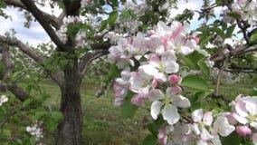 Ανθίζοντας όμορφα δέντρα μηλιάς στον κήπο οπωρώνων φιλμ μικρού μήκους