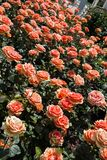 Ανθίζοντας όμορφα ζωηρόχρωμα τριαντάφυλλα στον κήπο Στοκ εικόνες με δικαίωμα ελεύθερης χρήσης