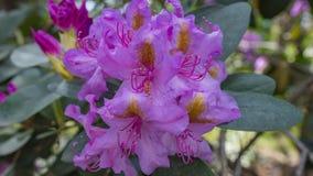 Ανθίζοντας όμορφα πορφυρά rhododendrons στον κήπο Μακροεντολή Στοκ φωτογραφίες με δικαίωμα ελεύθερης χρήσης