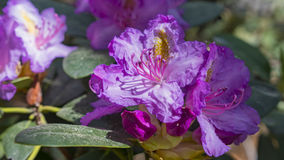 Ανθίζοντας όμορφα πορφυρά rhododendrons στον κήπο Μακροεντολή Στοκ Εικόνα