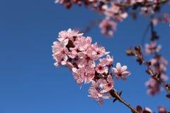 Ανθίζοντας όμορφα ρόδινα λουλούδια Prunus άνοιξη στο υπόβαθρο μπλε ουρανού cesky άνοιξη εποχής κληρονομιάς κάστρων krumlov στον κ Στοκ Εικόνες