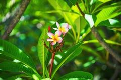 Ανθίζοντας όμορφο λουλούδι plumeria στο δέντρο Στοκ Εικόνες