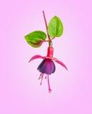 Ανθίζοντας όμορφο λουλούδι στις σκιές των κόκκινων και πορφυρών φούξια WI Στοκ Εικόνες