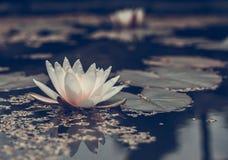 Ανθίζοντας ύδωρ lilly Στοκ εικόνα με δικαίωμα ελεύθερης χρήσης