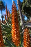 Ανθίζοντας Aloe ακίδες Στοκ Φωτογραφίες