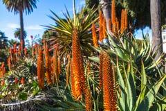 Ανθίζοντας Aloe ακίδες Στοκ Εικόνες