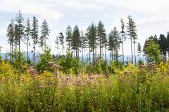 Ανθίζοντας angustifolium Chamerion στα πλαίσια των βουνών δυτικά Carpathians Στοκ Φωτογραφία