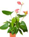 Ανθίζοντας Anthurium που απομονώνεται σε ένα άσπρο υπόβαθρο Στοκ Εικόνες