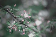 Ανθίζοντας aplle κλάδος με τα ρόδινα άνθη Στοκ Εικόνες