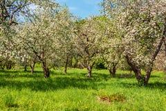 Ανθίζοντας Apple-δέντρο σε έναν κήπο άνοιξη Στοκ φωτογραφία με δικαίωμα ελεύθερης χρήσης