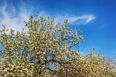 Ανθίζοντας Apple-δέντρο σε έναν κήπο άνοιξη Στοκ Εικόνες