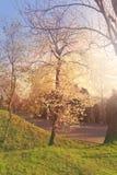 Ανθίζοντας Apple-δέντρο στον ήλιο πρωινού Στοκ φωτογραφία με δικαίωμα ελεύθερης χρήσης