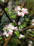 Ανθίζοντας Apple-δέντρο την άνοιξη Στοκ Φωτογραφίες