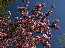 Ανθίζοντας Apple-δέντρο Στοκ εικόνα με δικαίωμα ελεύθερης χρήσης