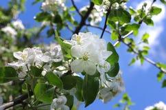 Ανθίζοντας Apple-δέντρο Στοκ Εικόνες