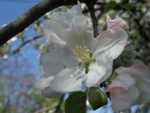 Ανθίζοντας Apple-δέντρο Στοκ εικόνες με δικαίωμα ελεύθερης χρήσης