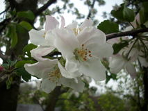 Ανθίζοντας Apple-δέντρο Στοκ Φωτογραφία