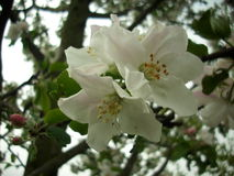 Ανθίζοντας Apple-δέντρο Στοκ φωτογραφίες με δικαίωμα ελεύθερης χρήσης