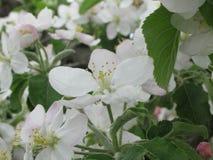 Ανθίζοντας Apple-δέντρο Στοκ Εικόνα