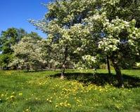 Ανθίζοντας Apple-δέντρα στο πάρκο πόλεων Στοκ εικόνα με δικαίωμα ελεύθερης χρήσης