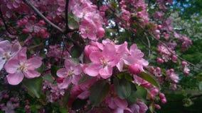 Ανθίζοντας Apple-δέντρο του όμορφου ιώδους χρώματος Στοκ εικόνα με δικαίωμα ελεύθερης χρήσης