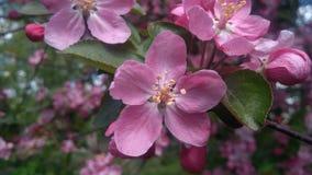 Ανθίζοντας Apple-δέντρο του όμορφου ιώδους χρώματος Στοκ Εικόνα