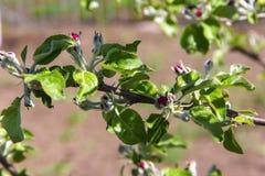 Ανθίζοντας Apple-δέντρο, το χρώμα του δέντρου μηλιάς στον πρόωρο Στοκ Εικόνες