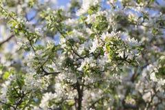 Ανθίζοντας Apple-δέντρο, φωτεινό φρέσκο υπόβαθρο άνοιξη Στοκ Εικόνες