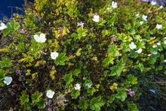 Ανθίζοντας cloudberries στο Βορρά Στοκ Φωτογραφίες