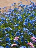 Ανθίζοντας forget-me-not Μπλε-ρόδινο υπόβαθρο λουλουδιών των μικρών λουλουδιών Στοκ εικόνες με δικαίωμα ελεύθερης χρήσης