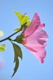 ανθίζοντας hibiscus λουλουδ&io Στοκ Εικόνες