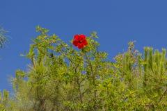 ανθίζοντας hibiscus λουλουδ&io Στοκ εικόνες με δικαίωμα ελεύθερης χρήσης