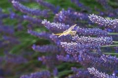 Ανθίζοντας lavander τομείς με τη χρυσή συνεδρίαση gragonfly σε ένα PU στοκ εικόνες