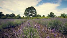 Ανθίζοντας lavender θάμνοι λουλουδιών σε έναν τομέα στην Προβηγκία, Γαλλία κλείστε επάνω βίντεο απόθεμα βίντεο