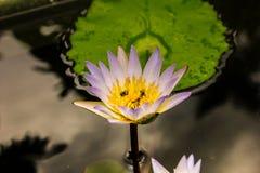 Ανθίζοντας Lotus με τις μέλισσες Στοκ Φωτογραφία