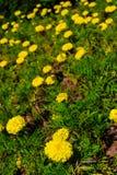 Ανθίζοντας marigold tagetes Στοκ Εικόνες