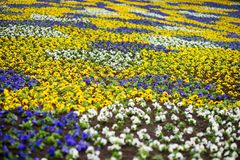 Ανθίζοντας pansy λουλούδια στο πάρκο μπλε σύννεφων πλήρες πράσινο τοπίο εστίασης πεδίων ημέρας οφειλόμενο λίγη μετακίνηση όχι εμφ Στοκ Εικόνες