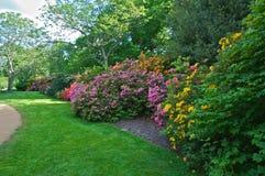 ανθίζοντας rhododendrons Στοκ Φωτογραφία