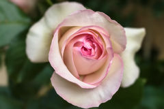 Ανθίζοντας Rosa ` Ίντεν ` Στοκ Εικόνες