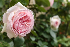 Ανθίζοντας Rosa ` Ίντεν ` Στοκ Φωτογραφία