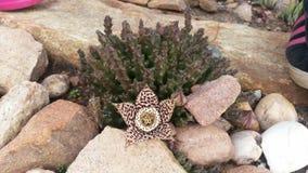 Ανθίζοντας succulent φυτό Στοκ Εικόνα