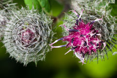 Ανθίζοντας wooly burdock, tomentosum arctium, μακρο, εκλεκτική εστίαση Στοκ εικόνα με δικαίωμα ελεύθερης χρήσης