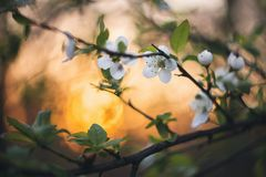 Ανθίσεις άνοιξη στο ηλιοβασίλεμα στοκ φωτογραφίες με δικαίωμα ελεύθερης χρήσης