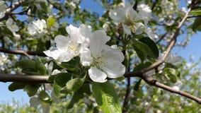 Ανθίσεις δέντρων της Apple - άσπρα λουλούδια Στοκ εικόνες με δικαίωμα ελεύθερης χρήσης