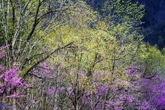 Ανθίσεις δέντρων Redbud και νέα αύξηση του Smokies. Στοκ Φωτογραφία